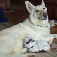 Cachorrinha adota uma cabra pigmeu e a abraça como se fosse seu próprio filhote