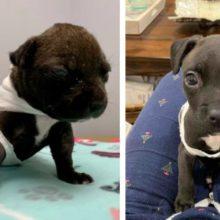 Cãozinho maltratado deixado dentro de uma sacola tem uma recuperação incrível