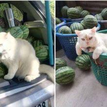 Conheça Pearl o gato com cara de bravo que supervisiona a fazenda de melancia