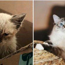 Gato perdido se transforma em um gato totalmente diferente apenas 2 meses após a adoção