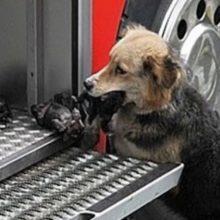 Mãe canina passou por um incêndio várias vezes para resgatar seus filhotes