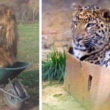 Mais de 9 felinos grandes que pensam que são gatinhos pequenos