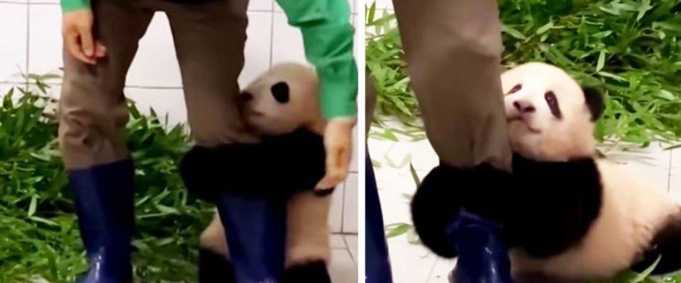 Bebê panda se agarra à perna de seu cuidador para não ser deixado sozinho