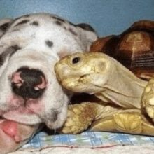 Tartaruga solitária é criada com cães resgatados e agora é impossível separá-los