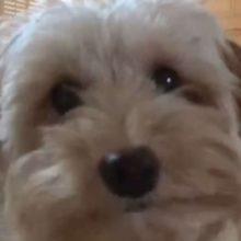 Cachorrinho percebeu que o seu humano instalou câmeras para vigia-lo