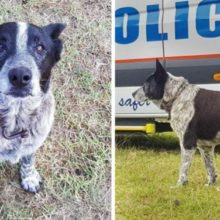 Cão parcialmente cego de 17 anos mantém criança desaparecida segura por 15 horas e leva os socorristas até ela