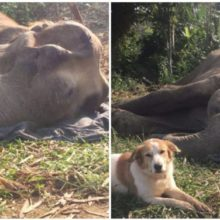 Elefante e seu querido cão amigo permaneceram inseparável até sua respiração final