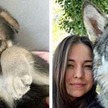 Lobo abandonado por sua mãe cresce com uma família humana e age como um cachorro