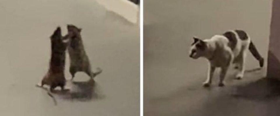 Mulher filma vídeo hilário de um gato assistindo a luta de dois ratos