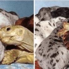 Tartaruga órfã é criada com cães resgatados e eles agora são inseparáveis