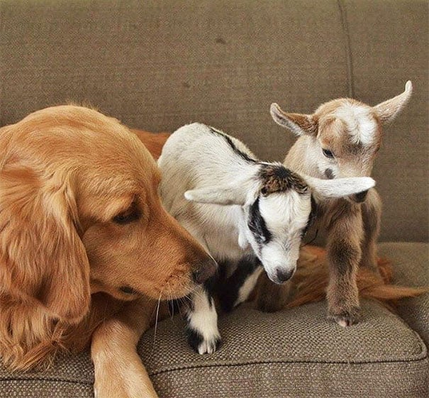 Cachorro adota cabrinhas 2