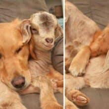 Cachorro adota cabrinhas e não consegue parar de abraça-la