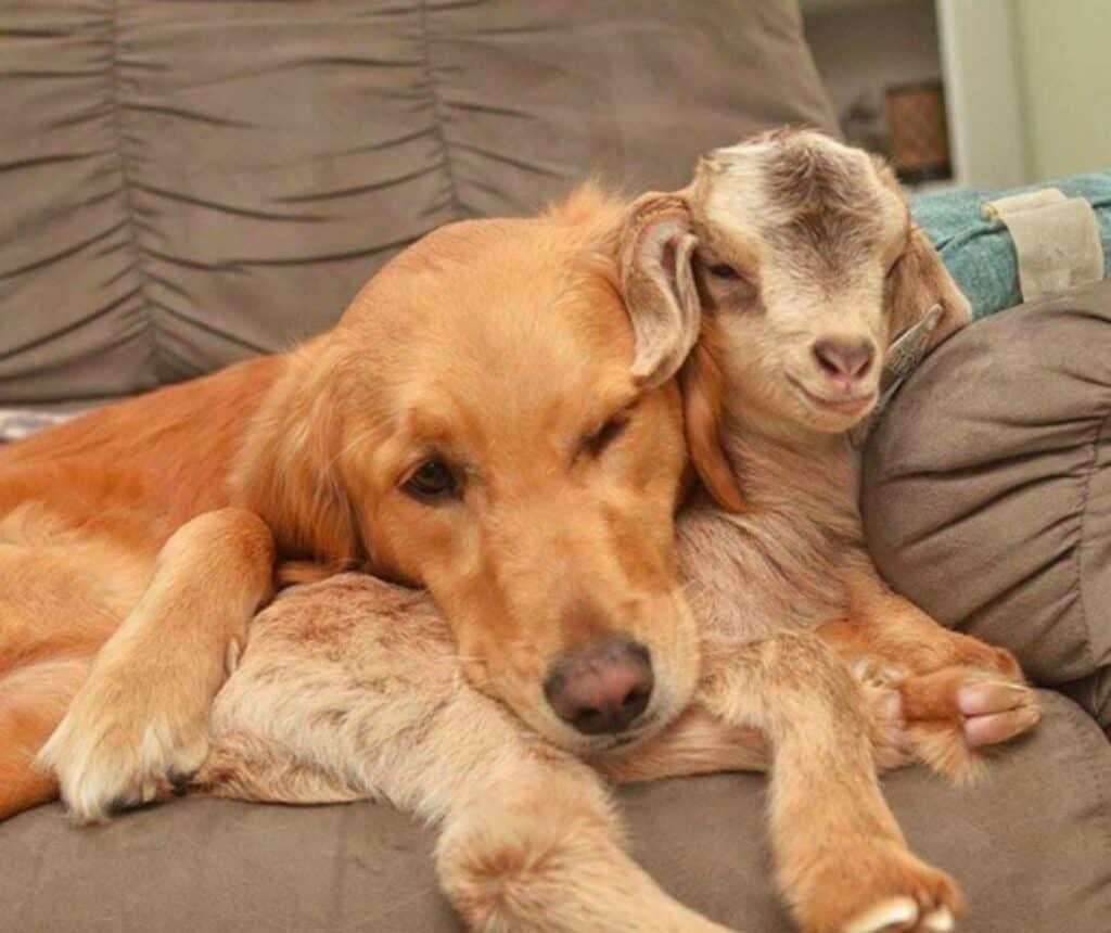 Cachorro adota cabrinhas 3