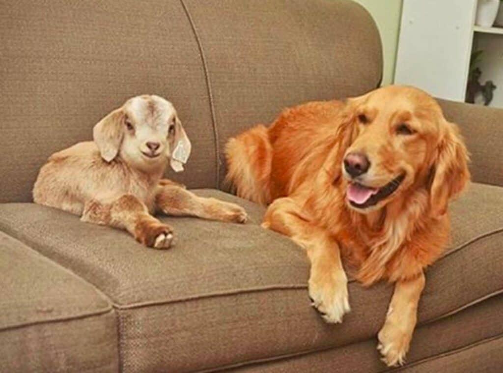 Cachorro adota cabrinhas 5
