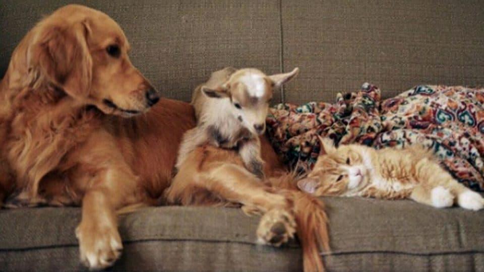 Cachorro adota cabrinhas 7