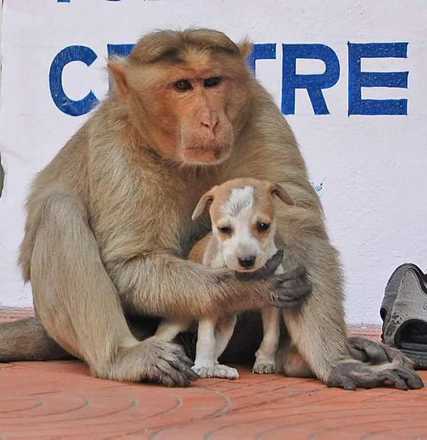 Macaco adota um filhote de cachorro 2