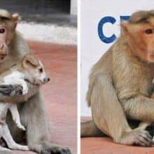 Macaco adota um filhote de cachorro de rua e o cria como se fosse seu filhote