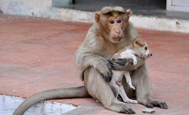 Macaco adota um filhote de cachorro 3