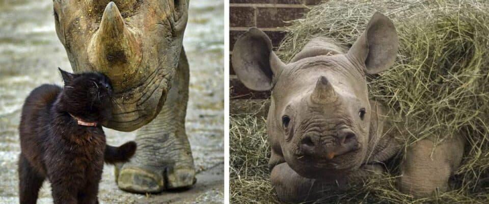 Zoológico adotou gatos como babás para o rinoceronte-negro, ameaçado de extinção