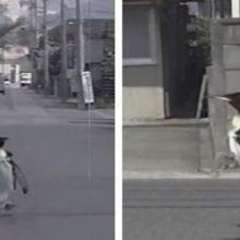 Adorável pinguim resgatado entra na cidade todos os dias para comprar peixes no mercado local
