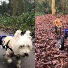 Cachorro de cadeira de rodas se torna um cão-guia de uma raposa cega