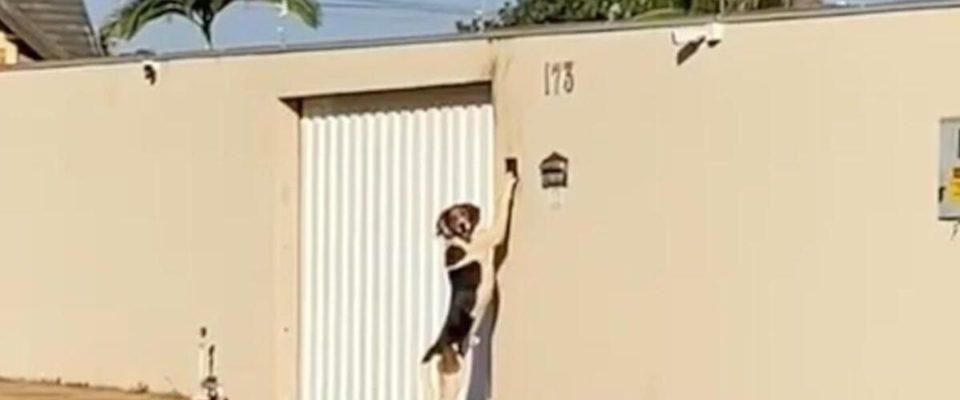 Cachorro é pego tocando a campainha da sua casa para entrar para dentro