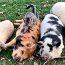 Gato que mora na fazenda adora massagear, cuidar e acariciar porcos