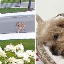 Momento em que o cachorro Yorkshire salva sua pequena tutora de um coiote