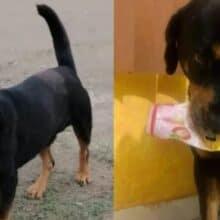 Cachorro prestes a morrer é resgatado e agora pega objetos para seus salvadores como presente