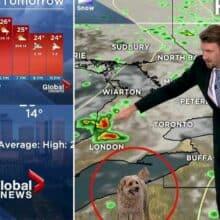 Cão aparece ao vivo na televisão só para pedir biscoitos para seu tutor