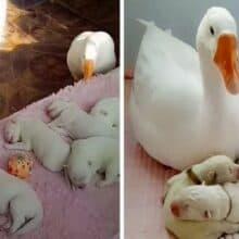 Ganso ajuda a cuidar dos filhotes recém-nascidos de sua melhor amiga