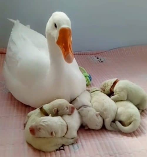 Ganso ajuda a cuidar dos filhotes 5