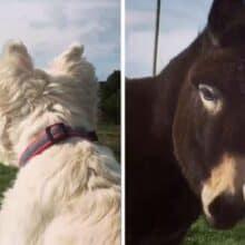 A amizade de longa distância entre um cão e um burrinho é mantida