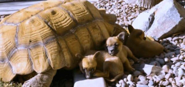 Cachorrinhos abandonados fazem amizade com tartaruga gigante solitária
