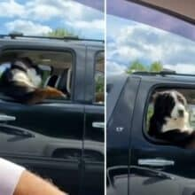Cão é visto sentado no banco de trás de um carro como um ser humano