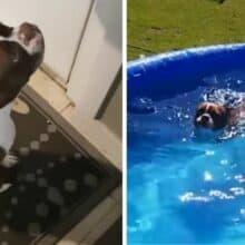 Cão que ama água age como tivesse que fazer xixi, mas só quer a piscina