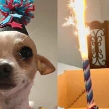 Cãozinho chora quando comemoram o seu primeiro aniversário