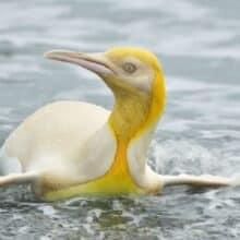 Fotógrafo da vida selvagem tira foto de Pinguim Amarelo nunca visto