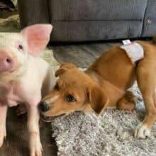 Porco resgatado e cão com necessidades especiais são melhores amigos