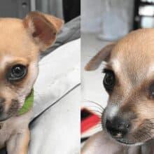 Thor o cachorro Chihuahua com lindos olhos coloridos
